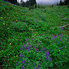 Wildflowers in mist, Mt. Rainier N.P.