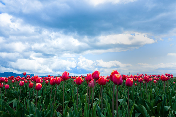 Tulip fields, Skagit county, Mt. Vernon, WA.