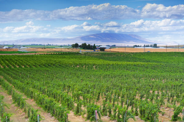Vineyard, Pasco, Washington