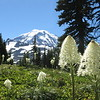 Bear grass in Spray Park, with Mt. Rainier.