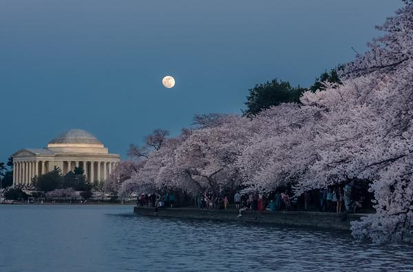 Cherry-Blossom-6028