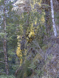 yellow-lichen12