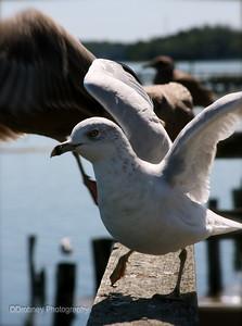 Dancing gull...