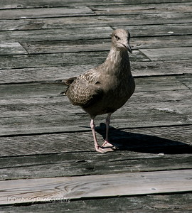 Can a gull be pigeon-toed?!?