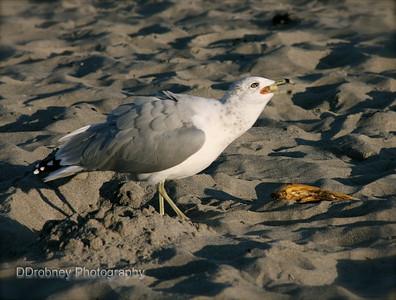 Gull with a treasure - a banana - on York Beach.