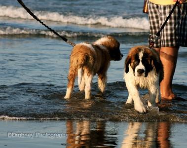 St. Bernie twins...so cute exploring the waves at York Beach.