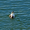 Common Eider, Gloucester Harbor, Massacusetts