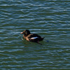 White-winged Scoter, Gloucester Harbor, Massacusetts
