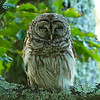 A juvenile Barred Owl at Big Meadows Lodge (Shenandoah Natl Park, Virginia - 2014/07/04 17:58:16 )