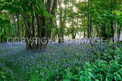 Bluebell Woods, Welsh Newton Common