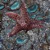 Ochre sea star, Seal Rock State Park, Oregon