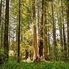 Redwoods 039
