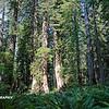 Redwoods 036