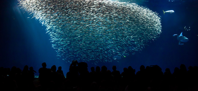 A school of sardines at the Monterey Aquarium