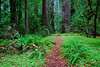 Redwoods in Humboldt State Park, California