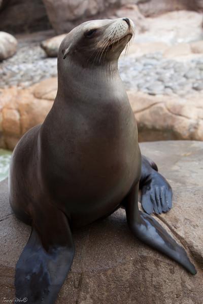 See lion, SeaWorld, San Diego