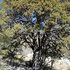 McKittrick Canyon - Guadalupe National Park - Alligator Juniper<br /> (LW)