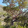 Texas Madrone Tree - McKittrick Canyon - Guadalupe National Park<br /> (LW)