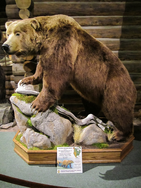 Alaska Brown Bear, Buffalo Bill Historical Center