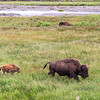American bison in Lamar Valley, Yellowstone National Park, Wyoming