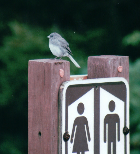 Slate-colored Junco? - Spruce Knob - Monongahela National Forest, WV  9-3-01