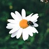 Beetle on Daisy - National Radio Astronomy Observatory - Green Bank, WV  9-3-01