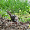 New River Gorge Visitor Center - Song Sparrow - Near Fayetteville, WV