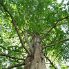 Looking Up at the Dawn Redwood Tree