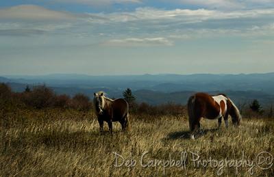 Wild Ponies Grayson Highlands State Park Virgina