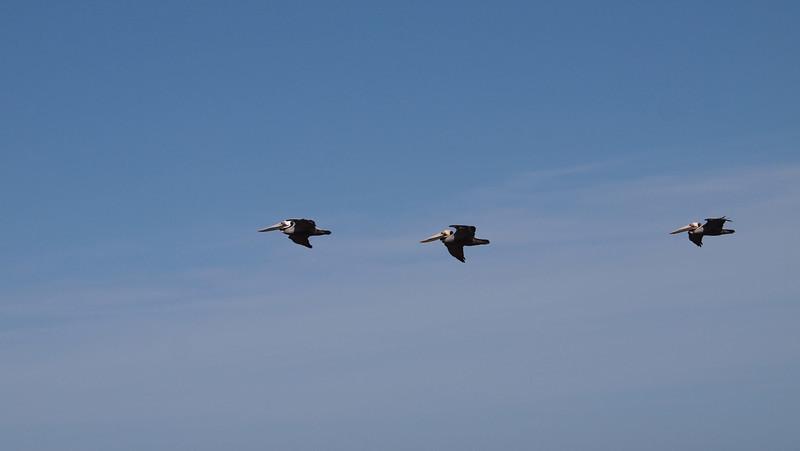 Pelicans, Ocean View BLVD