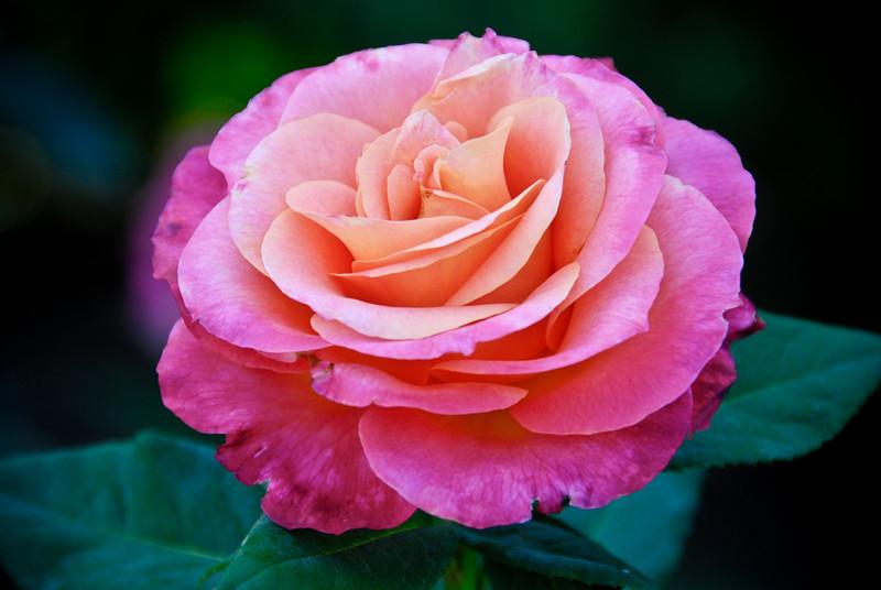"<span id=""title"">Rose</span> At the International Rose Test Garden in Washington Park"