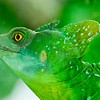 """<span id=""""title"""">Chameleon</span> (I think) Another awesome lizard in the rain forest exhibit at Calacad"""