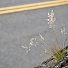 "<span id=""title"">Grass</span> Growing out of the sloped rock wall beneath the Vista House on the Historic Columbia River Highway."