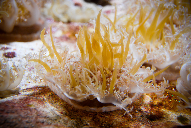 "<span id=""title"">Upside-down Jellyfish</span> Kind of funny... I guess they act more like anemones."
