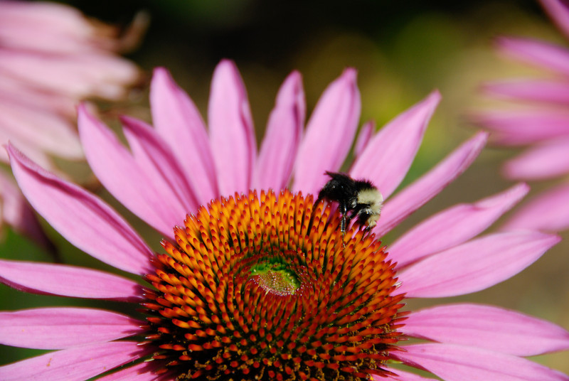 """<span id=""""title"""">Bee, Cone Flower</span> Not a rose, but near the International Rose Test Garden in Washington Park. We came to the park after spending the morning and early afternoon at Multnomah Falls and nearby areas."""