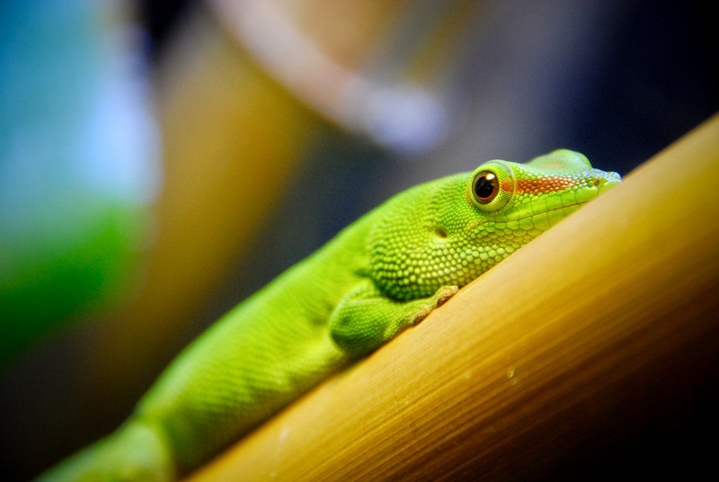 """<span id=""""title"""">Chameleon</span> Rain forest exhibit at the California Academy of Sciences. These eyes are so cool."""