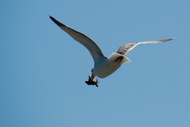 """<span id=""""title"""">Tasty Crab</span> The day after the wedding, we spent some time in Berkeley near the marina. This seagull got himself a fresh crab lunch."""