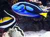 Blue & Angel Fish MA