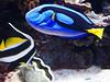 Blue & Angel Fish MA
