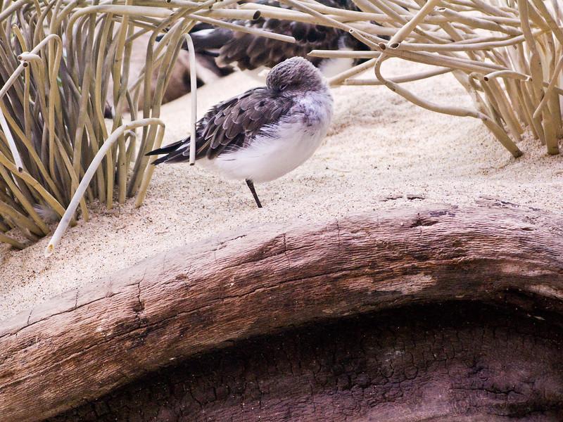 Sleeping Shore Bird