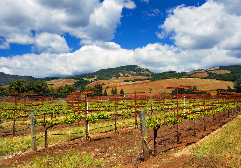 Vineyard in Valley of the Moon, Sonoma, CA.