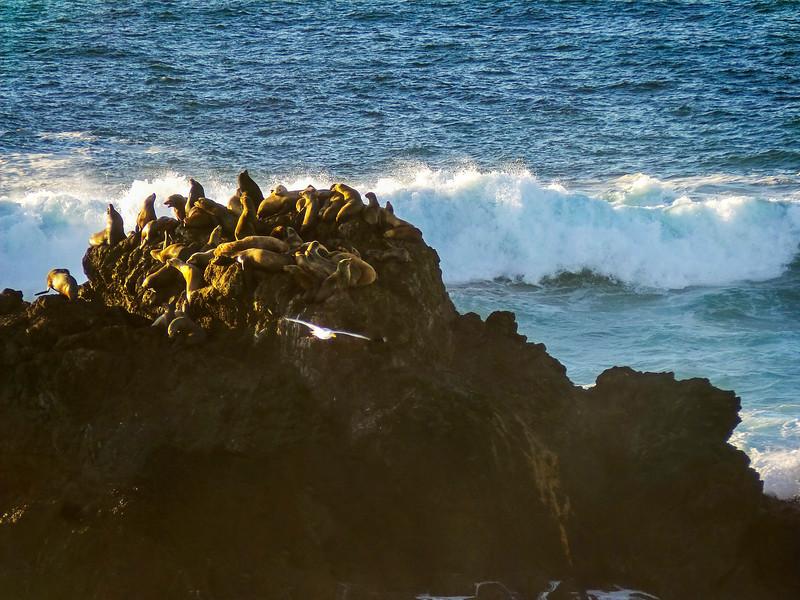 Mendocino Sea Lions_172231