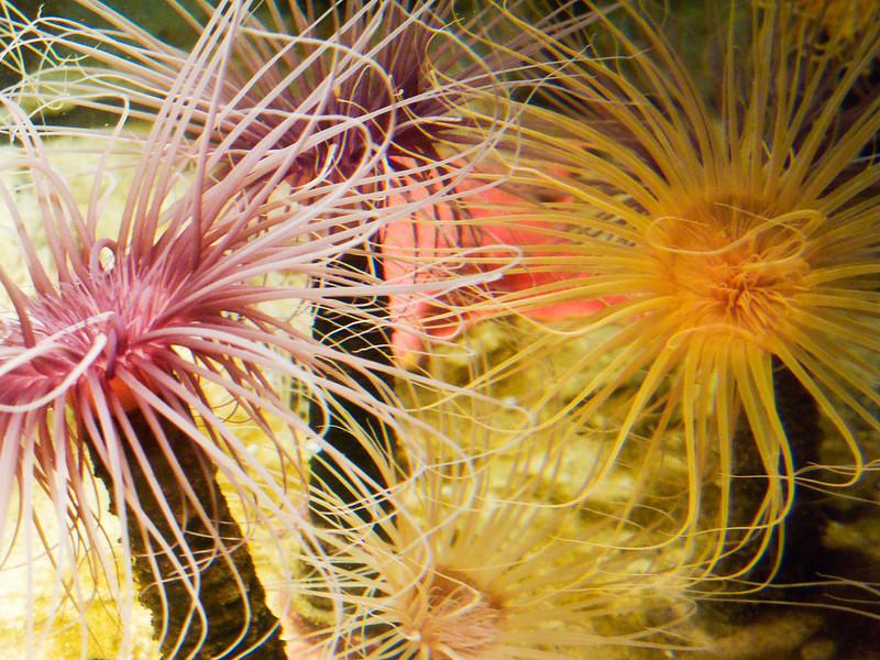 Pink & Yellow Anemone