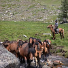 Herding horses for milking, first mares' milking of the summer
