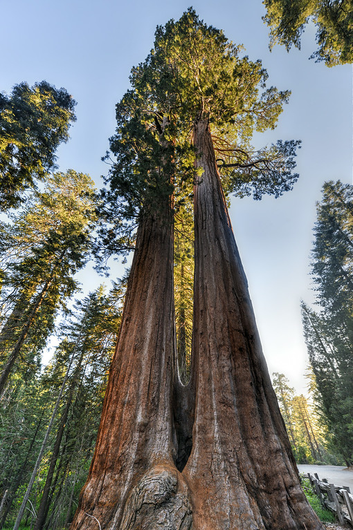Merged Giant Sequoia Trees