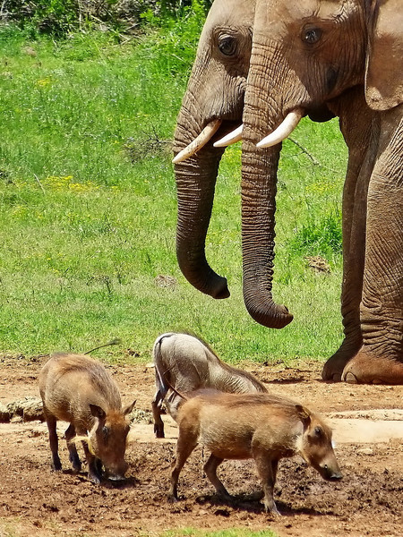 African elephant and common warthog piglets, Addo Elephant National Park