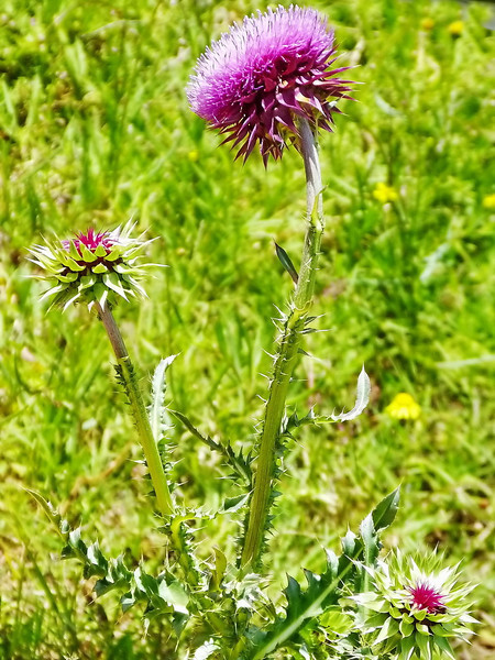 Musk thistle, Addo Elephant National Park
