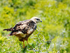 Steppe Buzzard, Addo Elephant National Park