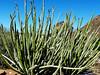 Euphorbia dregeana, Goegap Nature Reserve