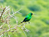 Malachite Sunbird, Addo Elephant National Park